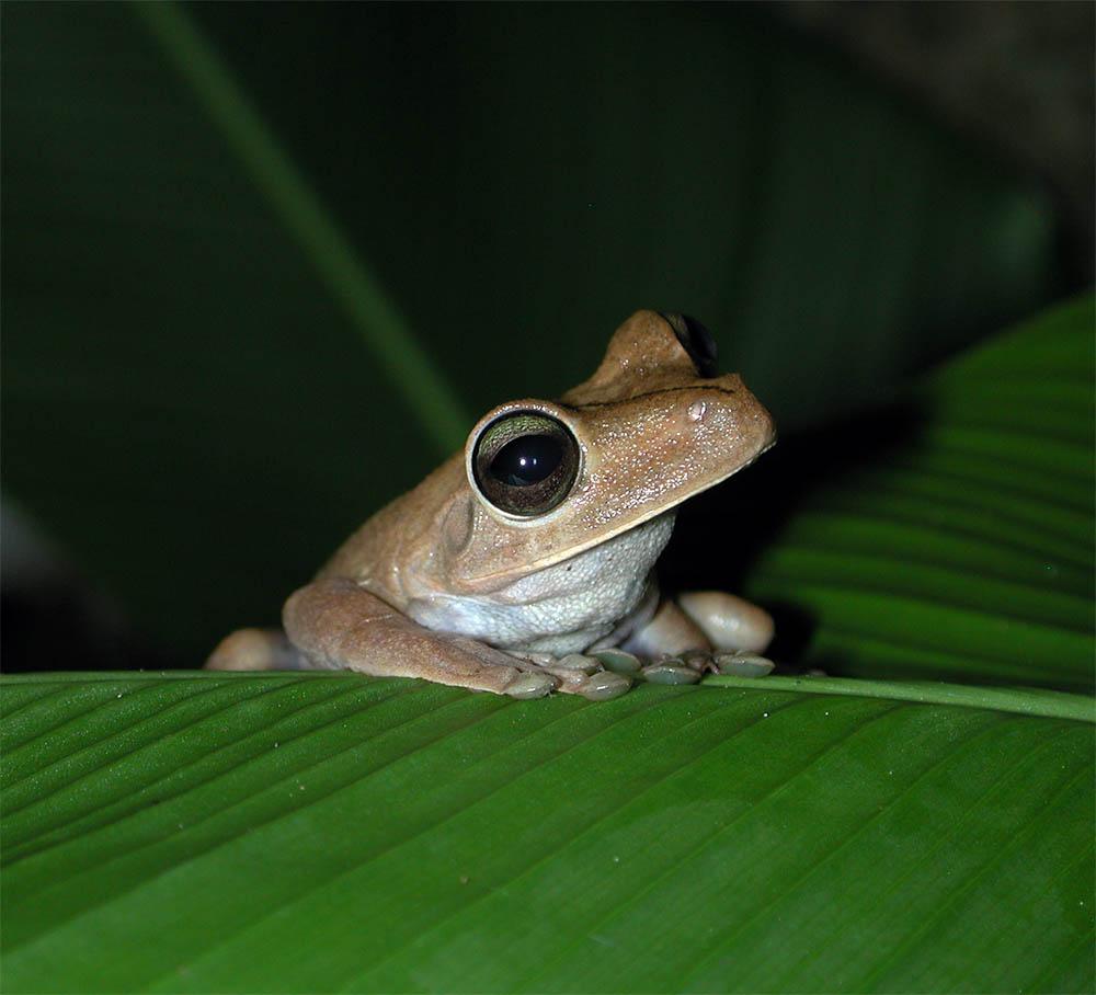 Brown Tree Frog